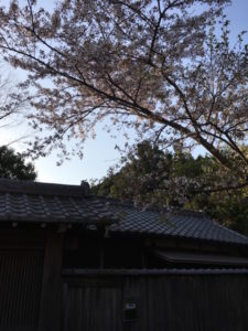 ヒビコレ桜2018